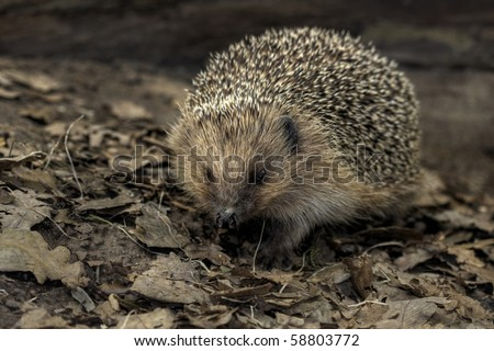 Wild Hedgehog.