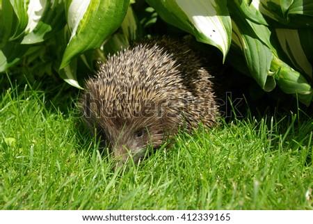 Wild hedgehog  in the garden - stock photo