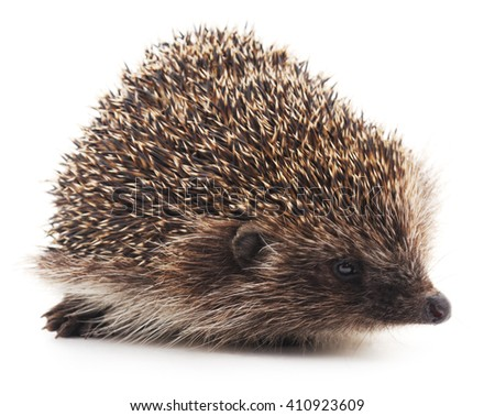 Wild hedgehog isolated on a white background. - stock photo
