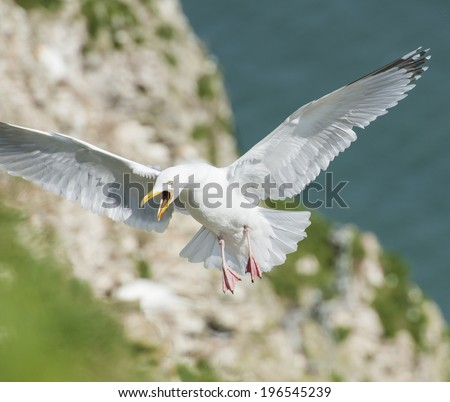 Wild herring gull larus argentatus seabird in flight off english coastline - stock photo
