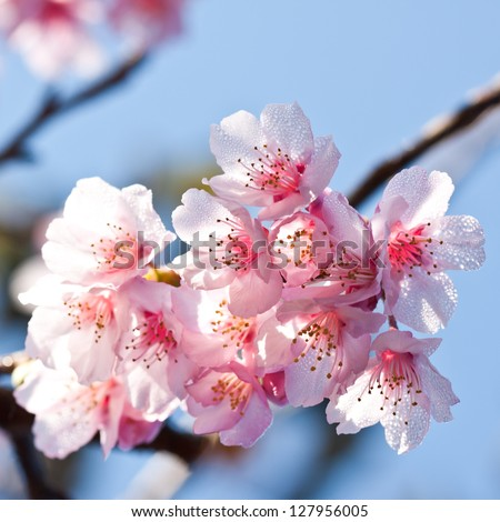 Wild Himalayan Cherry - stock photo
