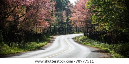 Wild Himalayan cherry and road