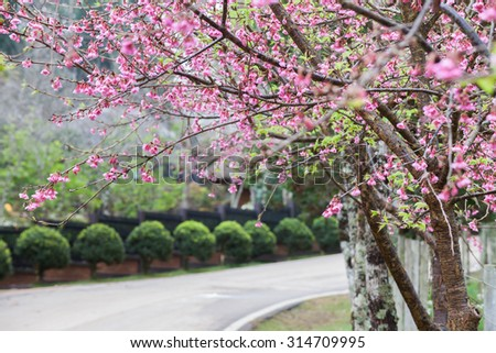wild himalayan cherry and road car