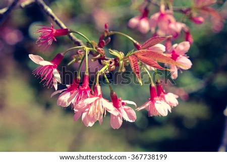 Wild himalayan cherry flower with filter effect retro vintage style