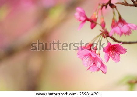 Wild Himalayan Cherry flowers, soft focus and blurred background - stock photo