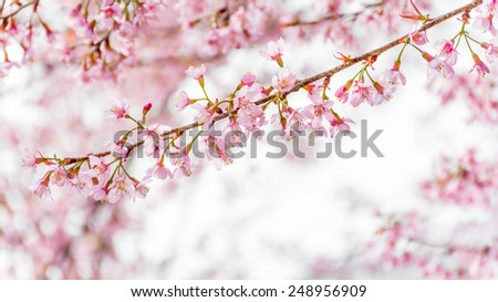 Wild Himalayan Cherry (Prunus cerasoides) blooming in northern Thailand to Himalaya Range in India. - stock photo