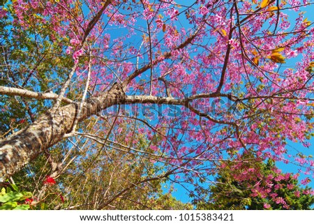 Wild himalayan cherry trees pink color stock photo download now wild himalayan cherry trees pink color flower on its branches among blue sky prunus mightylinksfo