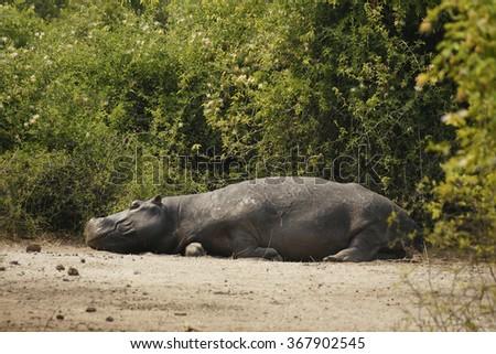 Wild hippo hippopotamus resting by the water Safari Nature Reserve Botswana Africa - stock photo
