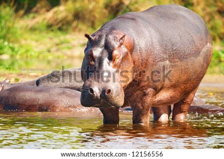 Wild hippo, Nile river, Uganda - stock photo