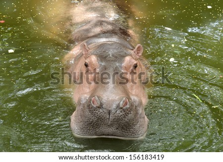 Wild hippopotamus swimming in the water - stock photo