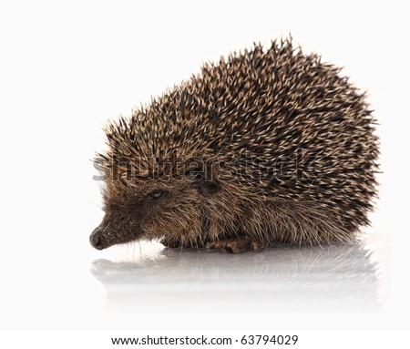 wild hodgehog on white background - stock photo