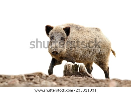 wild hog looking at camera, isolation over white background