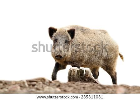 wild hog looking at camera, isolation over white background - stock photo