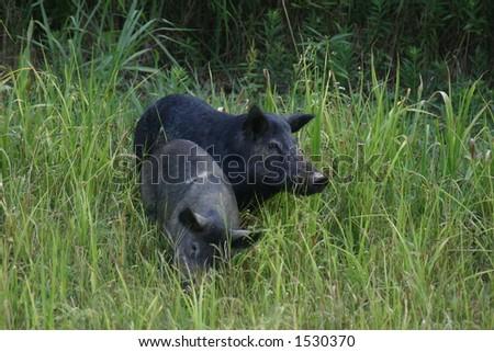 Wild Hogs - stock photo
