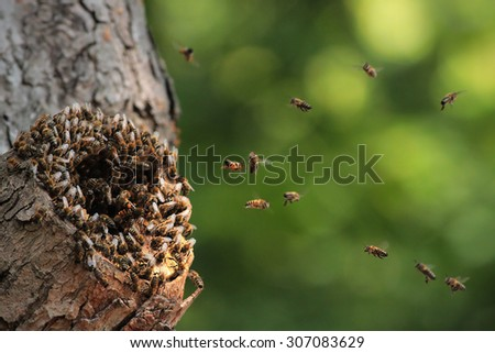 Wild honey bees Apis mellifera flying around the nest in a hot day. Some return with full pollen baskets to their nest located in old hollow. - stock photo