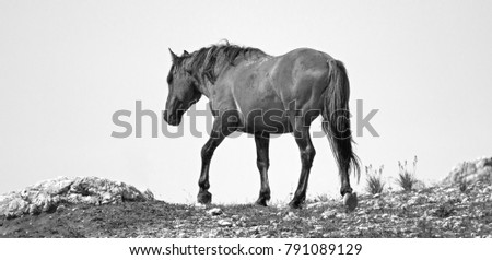 Wild Horse Grulla Gray colored Band Stallion on Sykes Ridge in the Pryor Mountains in Montana and Wyoming USA.