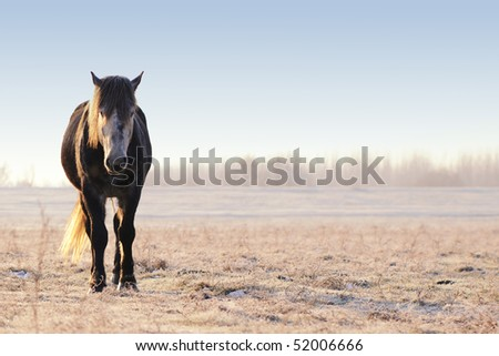 wild horse in early frosty morning