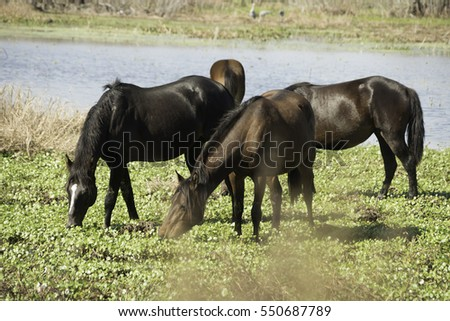 Wild Horses at Paynes Prairie State Park in Florida.