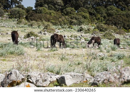 wild horses in Sardinia/wild horses as they graze in a clearing - stock photo
