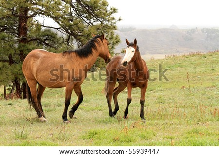 Wild horses in the American West, dancing, and running - stock photo