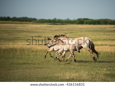 Wild horses in the Hungarian  moorland