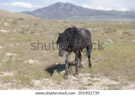 Wild horses of the Great Basin Desert in Utah USA