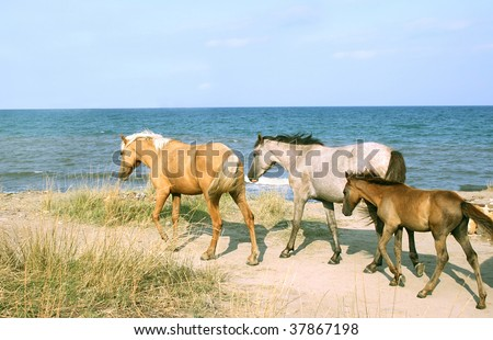 Wild horses on beach stock images royalty free images vectors wild horses on the beach crimea ukraine sciox Images