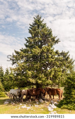 Wild horses resting in shade under tree on a hot summer day - stock photo
