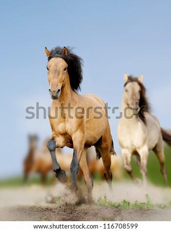 wild horses running - stock photo