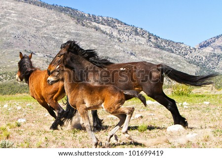 Wild Horses Running In Nevada Spring Mountain Range - stock photo