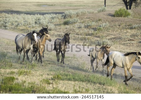 Wild horses walking along roadside of Black Hills Wild Horse Sanctuary, the home to America's largest wild horse herd, Hot Springs, South Dakota - stock photo