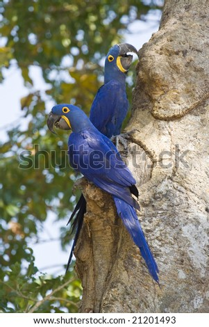 Wild Hyacinth Macaws In The Pantanal, Brazil