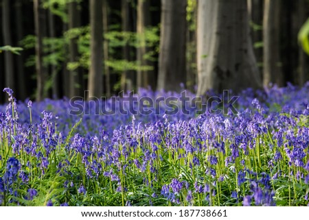 Wild hyacinths form a blue carpet in a forest - stock photo