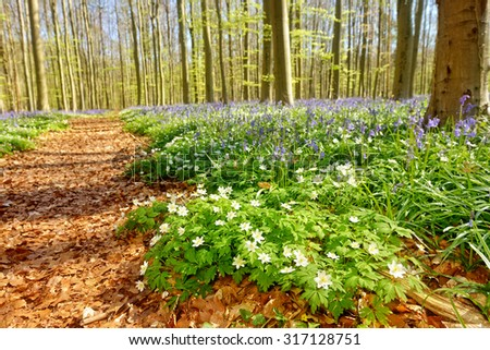 Wild hyacinths in so named blue forest Hallerbos in Belgium - stock photo