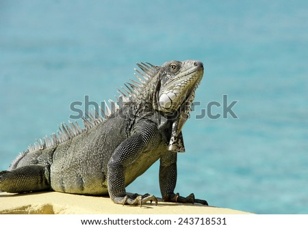 Wild Iguana from the Island of Bonaire on a sea wall with the tropical ocean as the blue background - stock photo