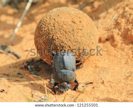 Wild Insects from Africa - Dung Beetle with Giant ball of dung during the Namibian Summer season. - stock photo