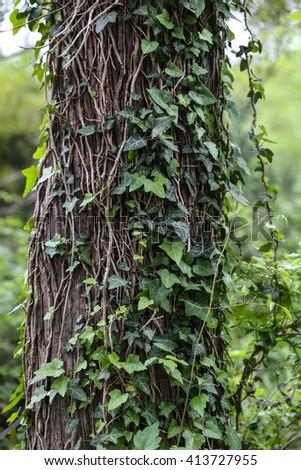 Wild ivy growing on tree trunk - stock photo