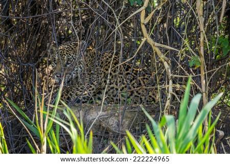 Wild jaguar resting behind plants in riverbank, Pantanal, Brazil - stock photo