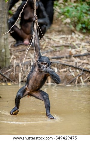Wild juvenile Bonobo hanging from lianas and drink from pond. Natural habitat. The Bonobo ( Pan paniscus), called the pygmy chimpanzee. Democratic Republic of Congo. Africa