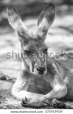 Wild kangaroo near Perth, Western Australia. - stock photo