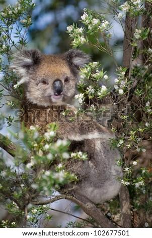 Wild Koala (Phascolarctos cinereus) at Cape Otway, along the famous Great Ocean Road in Victoria, Australia - stock photo