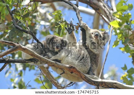 Wild Koalas along Great Ocean Road, Victoria, Australia  - stock photo