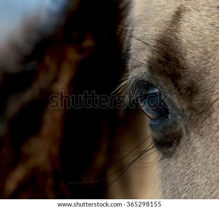 Wild Konik horse eye close-up - stock photo