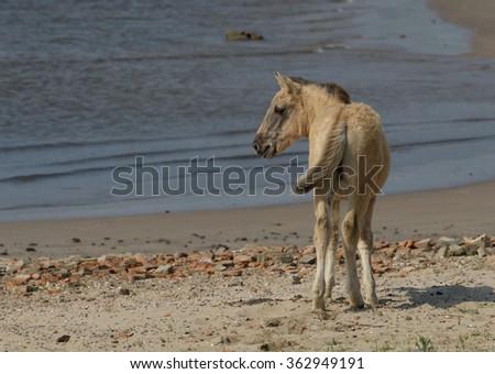 Wild konik horse foal at the beach - stock photo