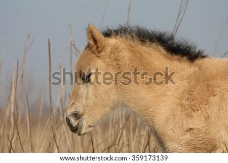 Wild Konik horse foal portrait - stock photo
