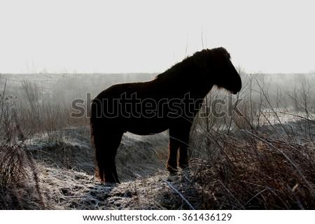 Wild Konik horse silhouette - stock photo