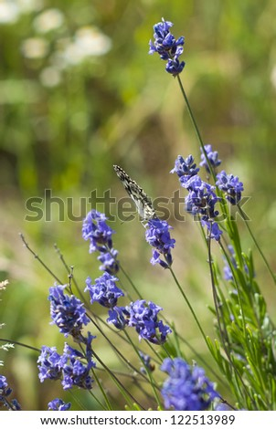 wild lavender flowers on a meadow at summertime