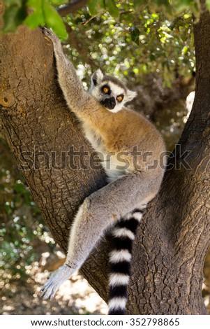 Wild lemur on a tree, Ring-tailed Lemur (Lemur catta) - stock photo