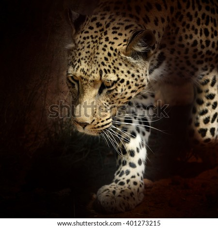 Wild leopard in aggressive pose sneaks. African Savanna, Namibia. Filtered image - stock photo