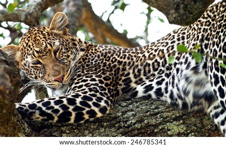 Wild leopard lying sleeping on a tree in Masai Mara, Kenya, Africa - stock photo